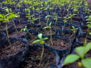 Rimba-Raya-FieldNote-Featured-Seedlings
