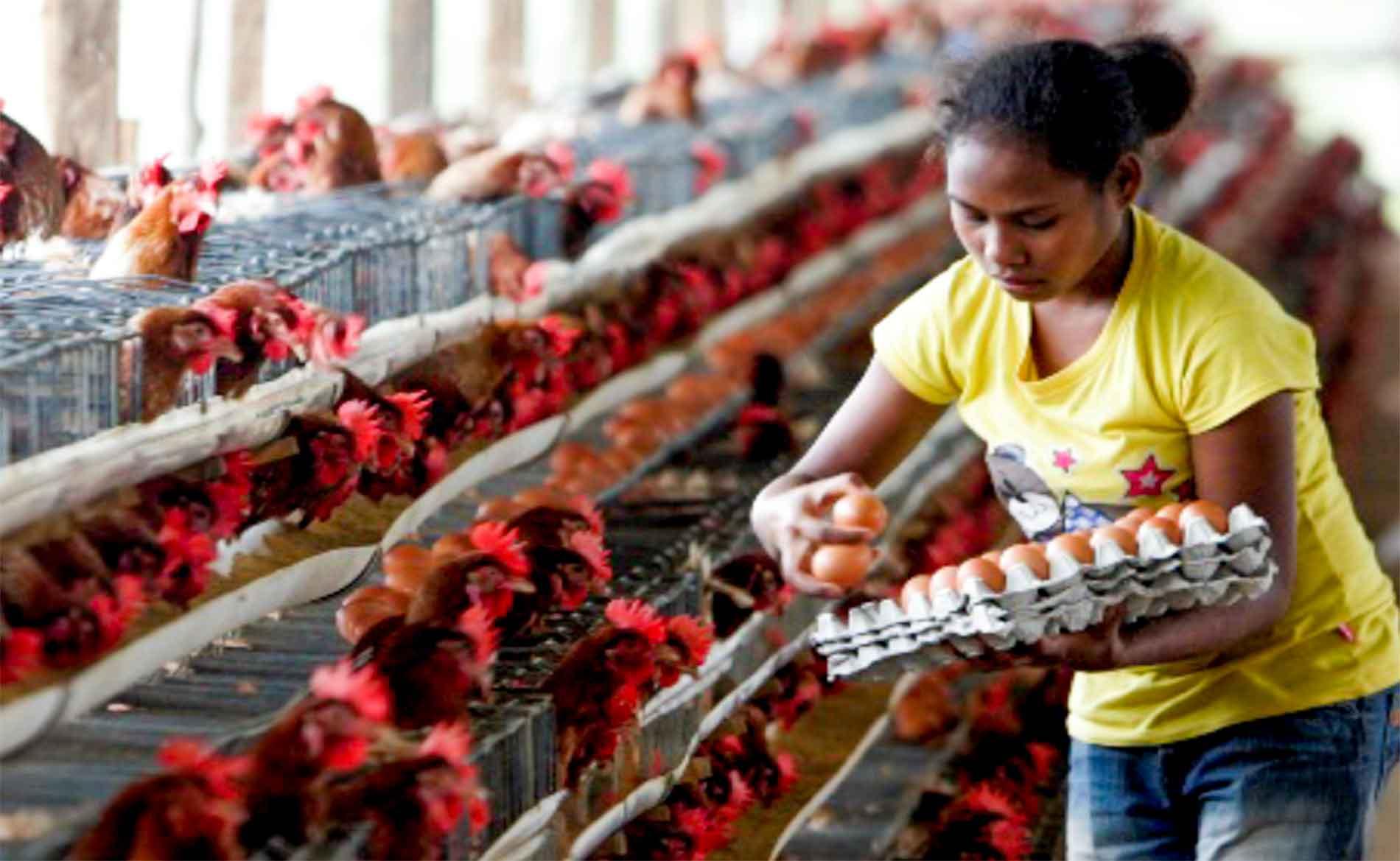 rimba-raya-initiative-featured-chicken-egg-farm