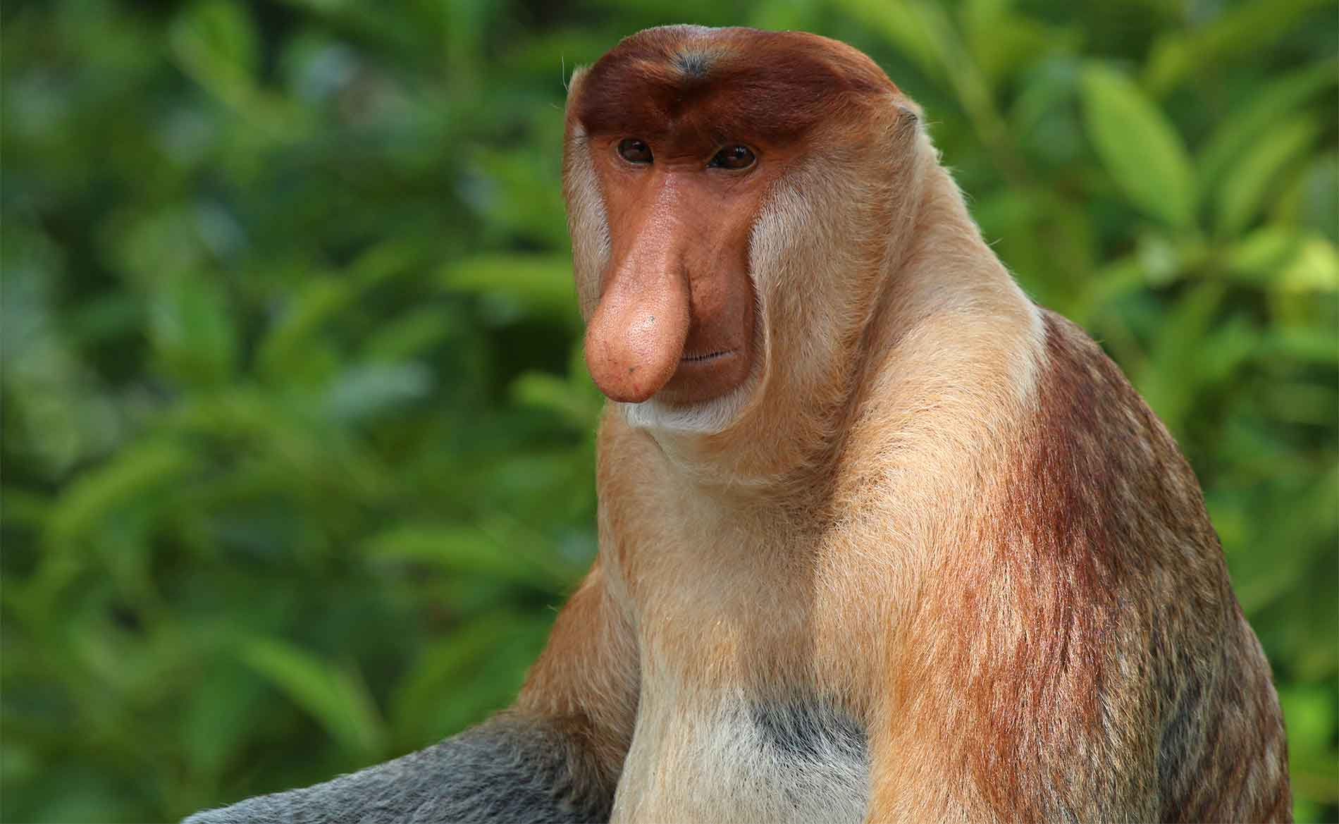 Rimba Raya | Initiatives | Protecting Biodiversity | The Proboscis Monkey Photo By Charles J Harp-CC-BY-SA-40